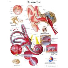 Anatomical Chart - ear, laminated
