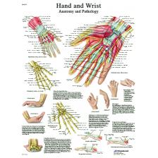 Anatomical Chart - hand & wrist, laminated