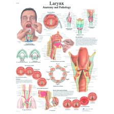 Anatomical Chart - larynx, laminated