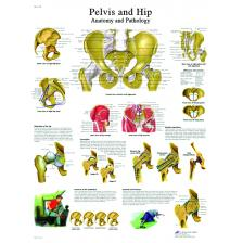 Anatomical Chart - hip & pelvis, laminated